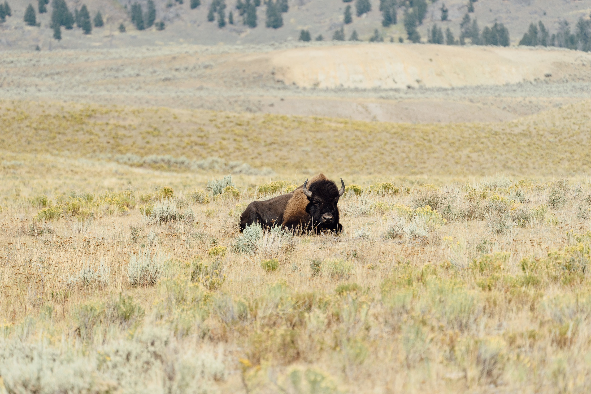 A peaceful looking bison taking an afternoon nap. Even though the bisons might look calm and somewhat clumsy, they can run as fast as 35 mph!