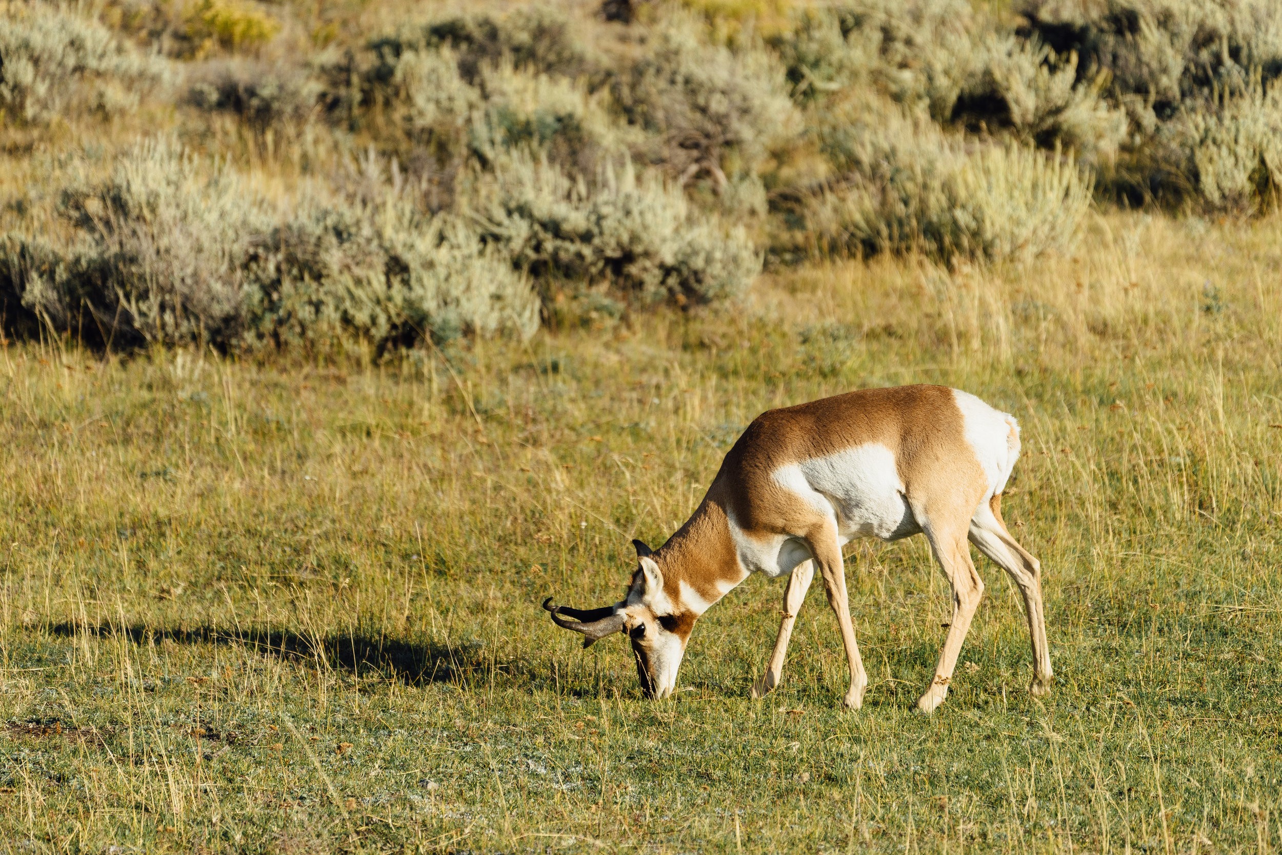 This is the  pronghorn  - the fastest land animal in North America! We didn't realized what it actually is until we got back home. According to the internet, it is a pretty rare sighting.