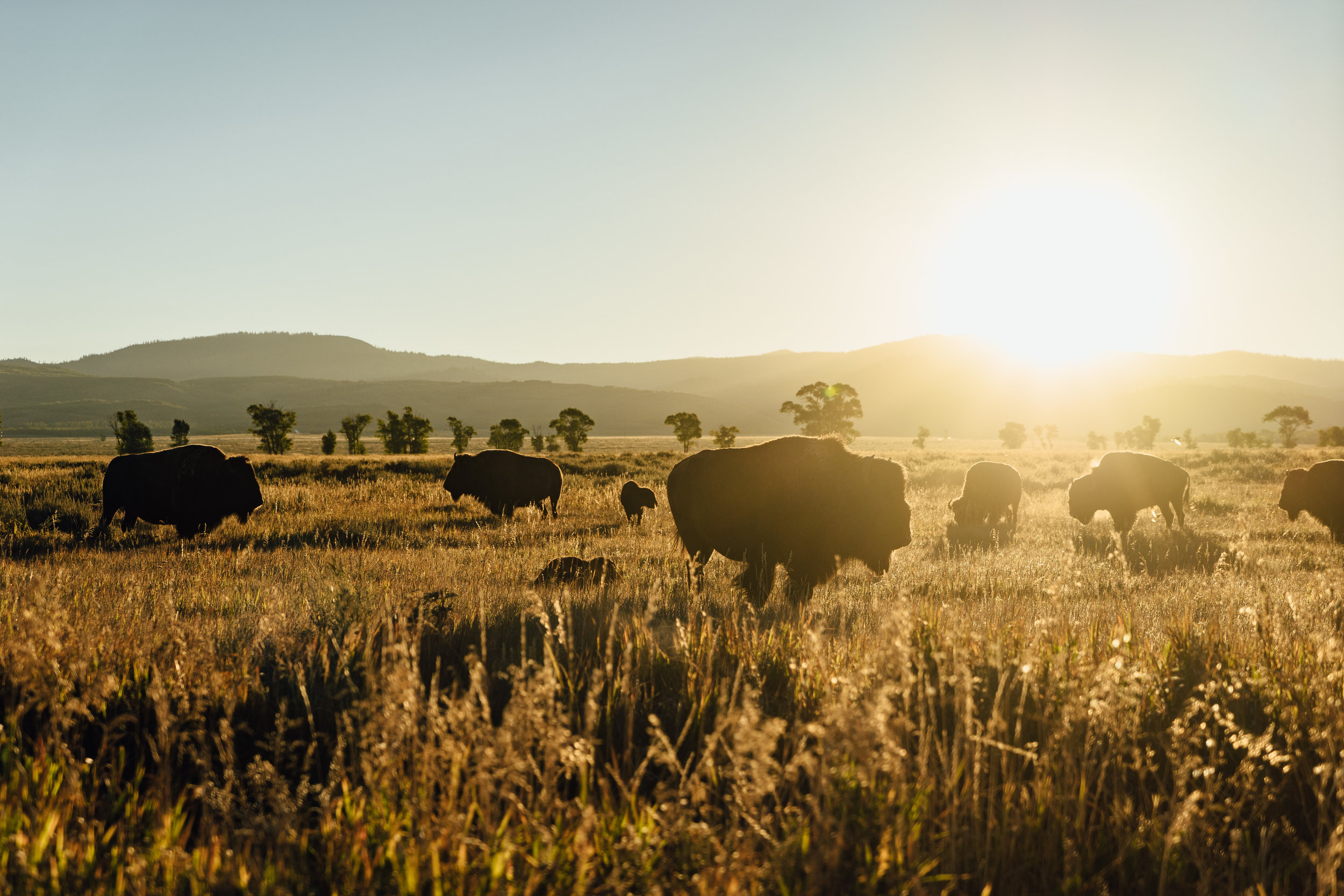 The bisons rise early for feeding in the  Antelope Flat .