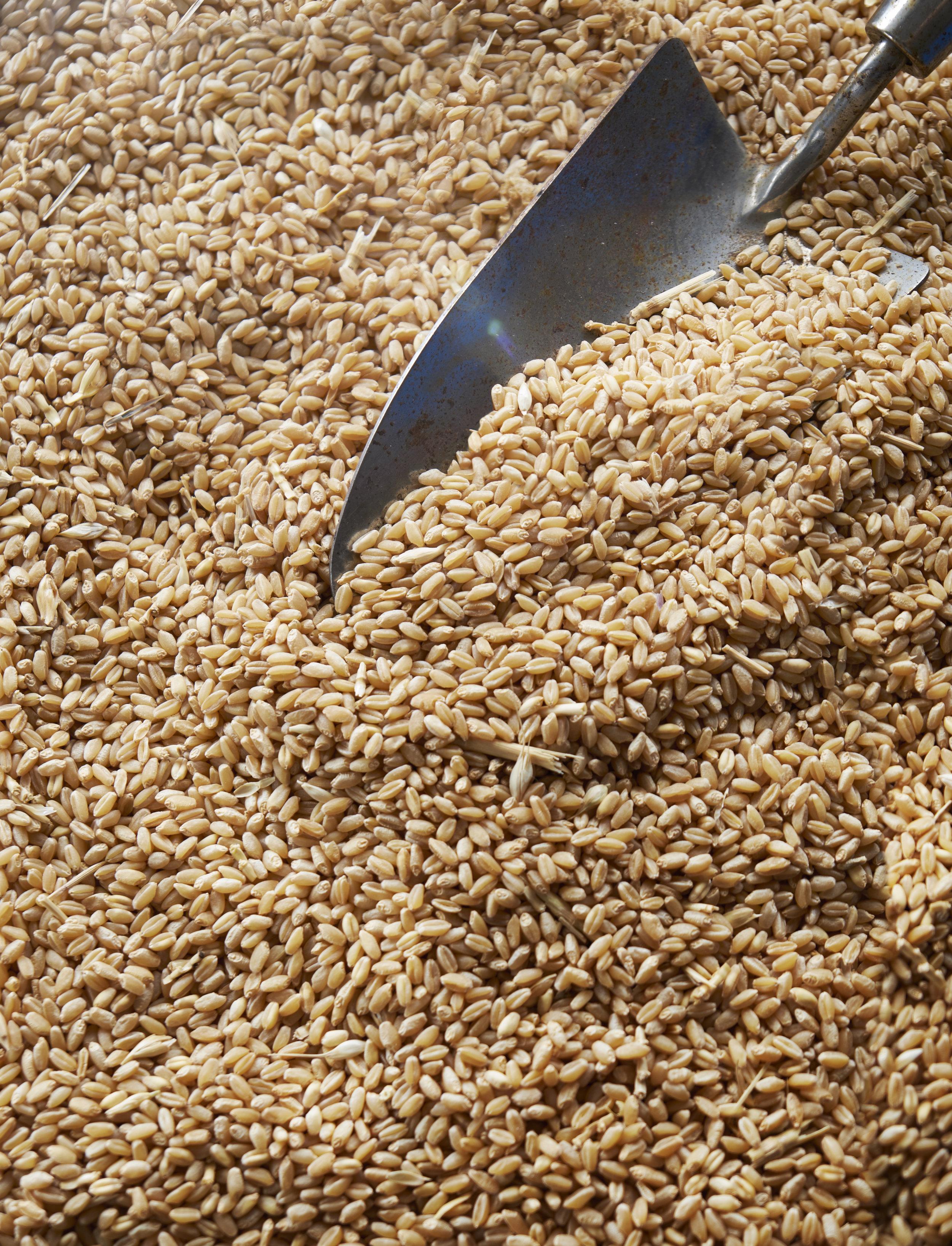 Bred_0223_Wheat_B.jpg