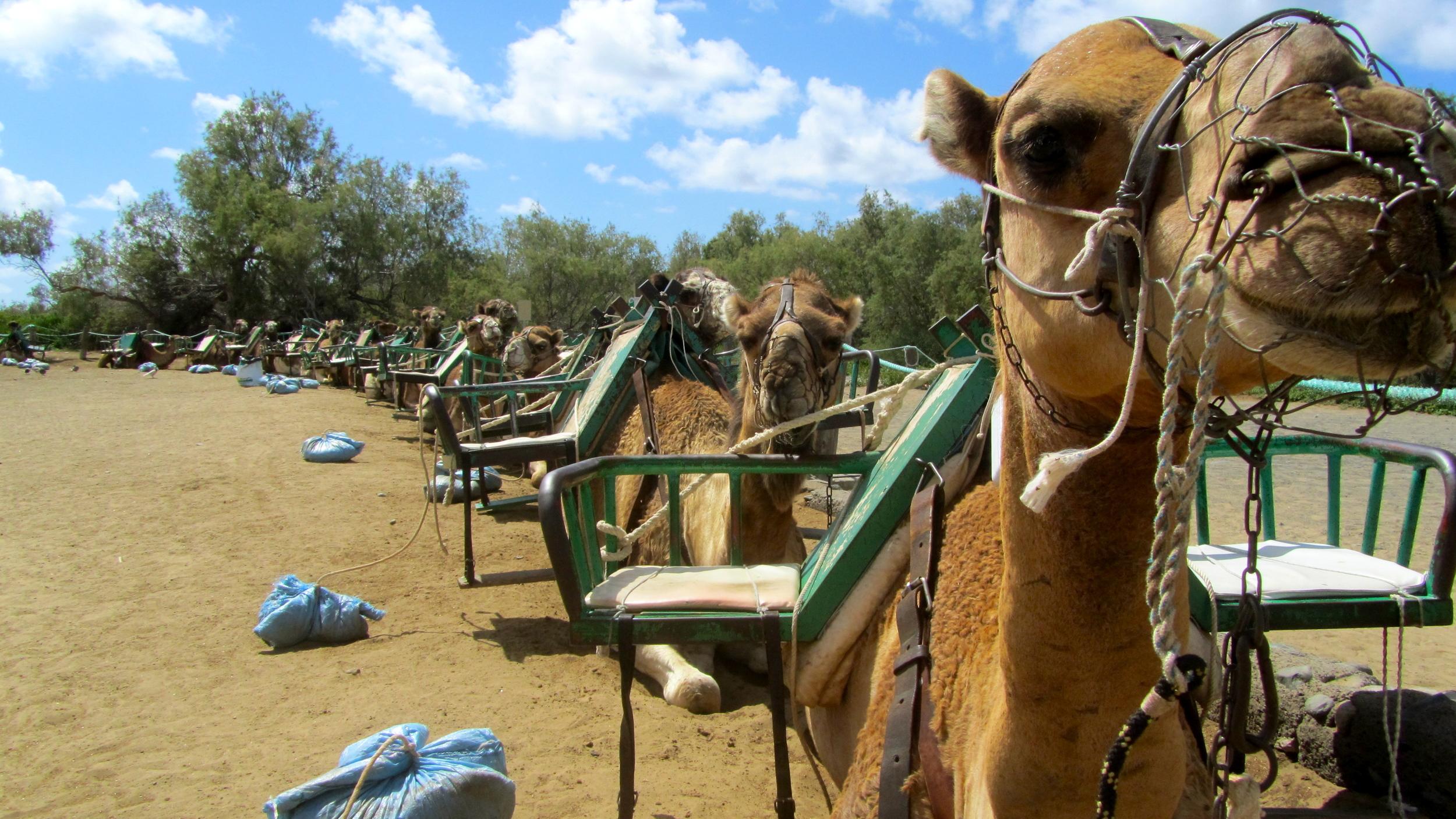 Camel Queue.JPG