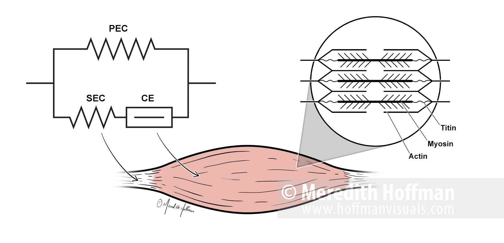 Three component model of force transmission in muscles