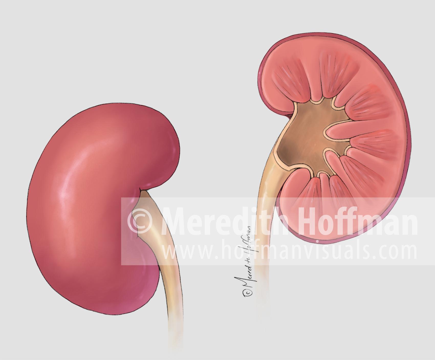 Anatomy of the kidneys