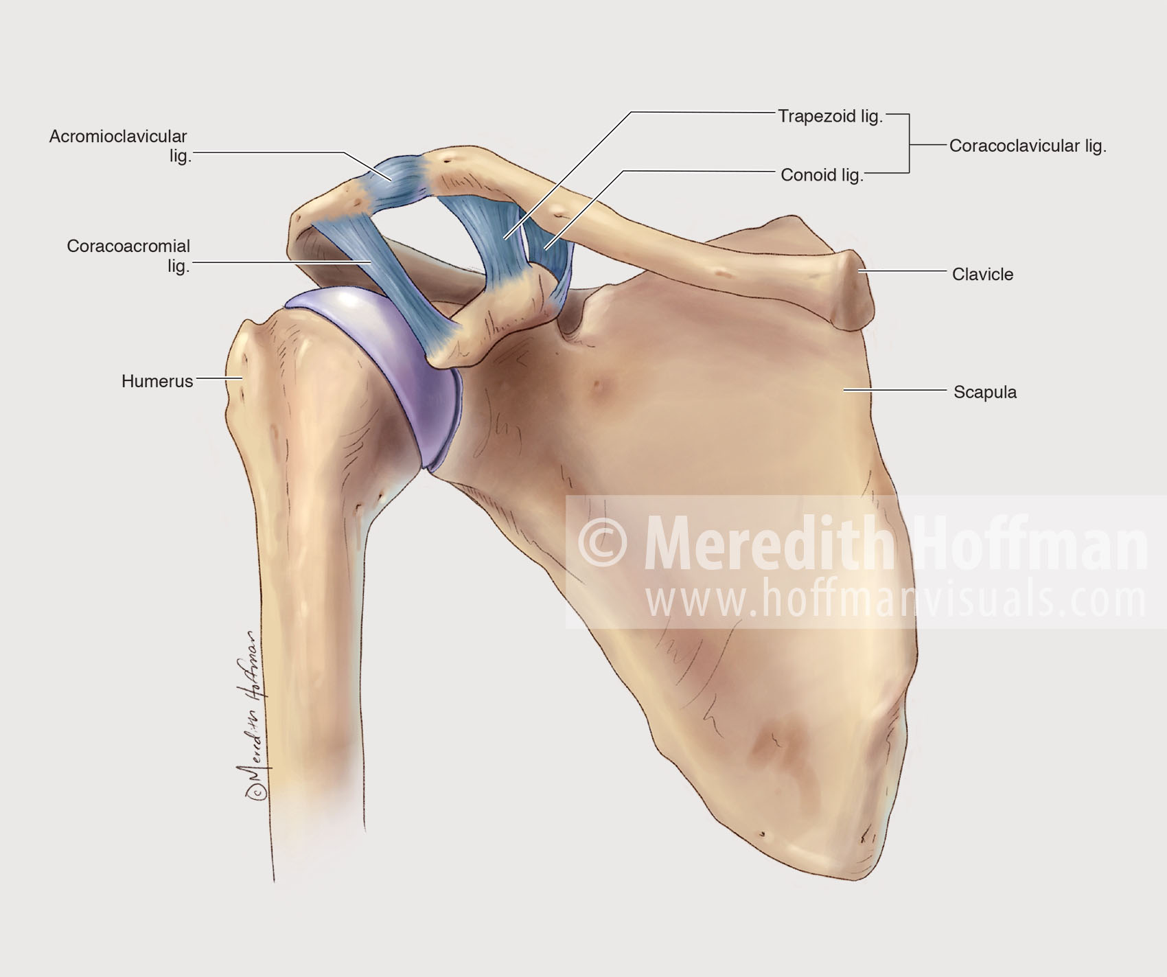 Anatomy of the shoulder and its ligaments