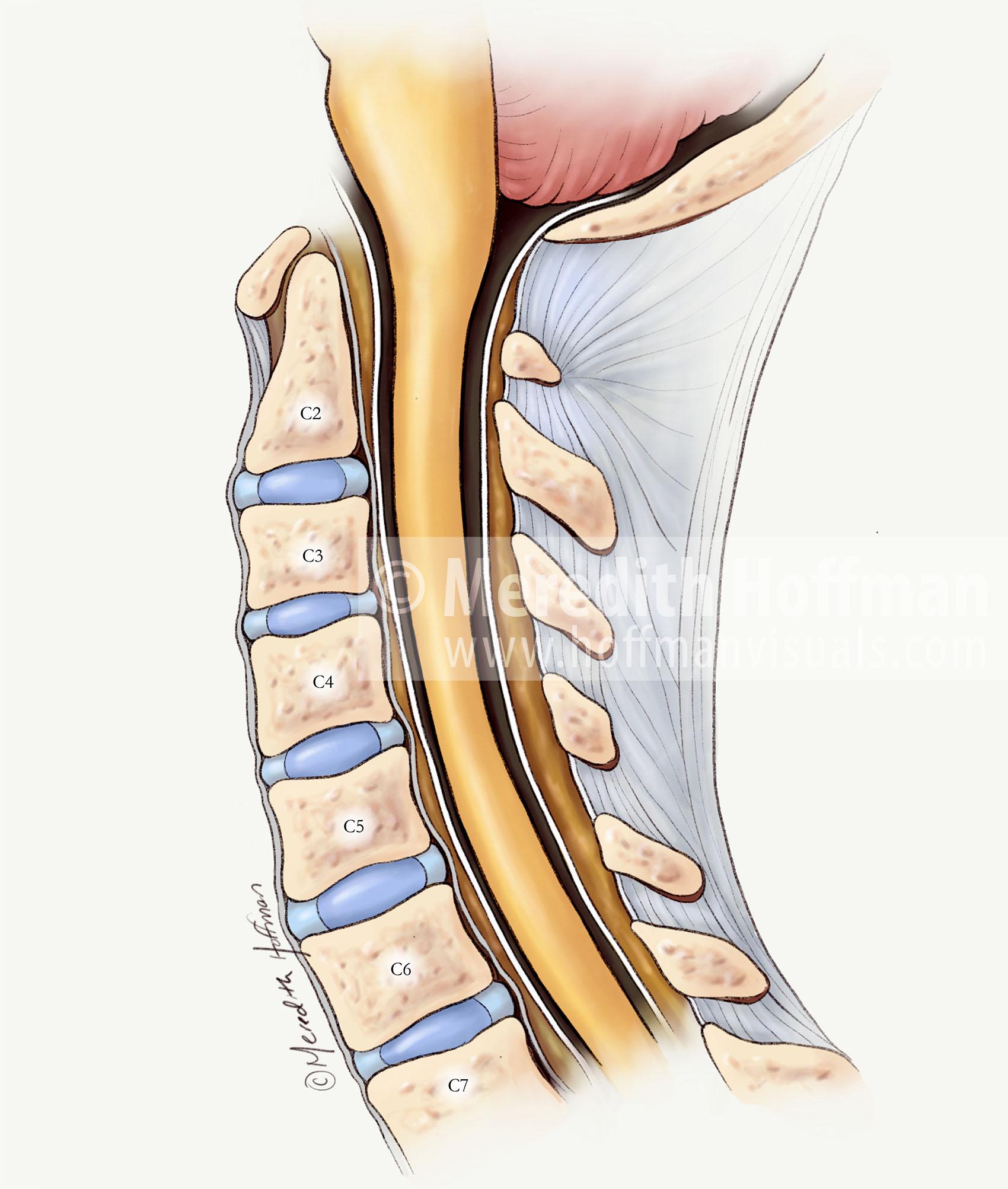 Sagittal view of the cervical spine