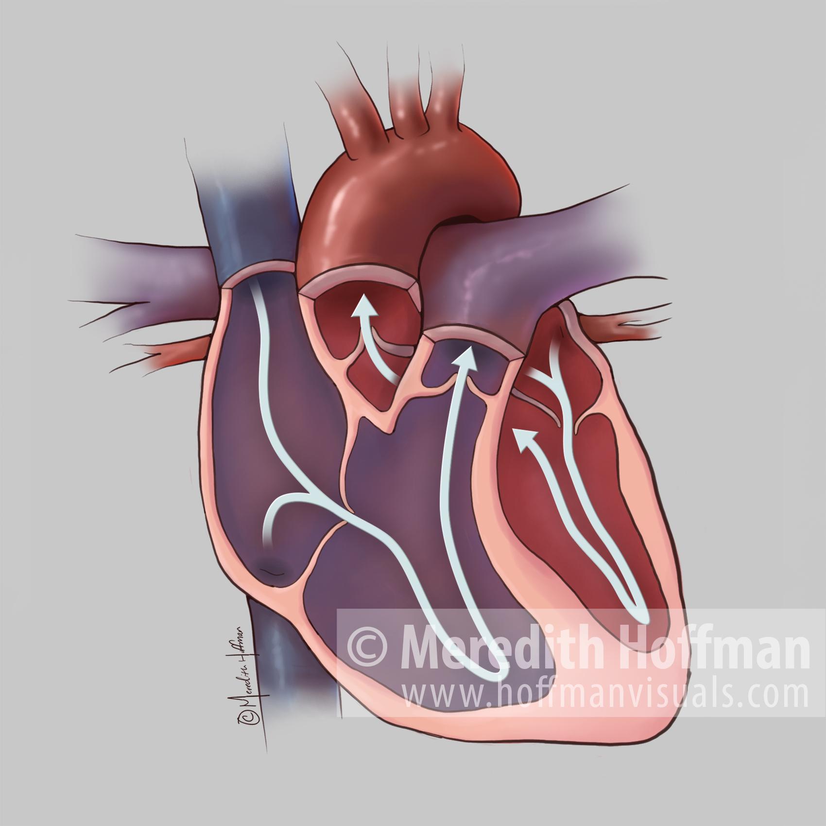 Blood flow through the heart