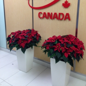 Poinsettias in Toronto Office Building Lobby