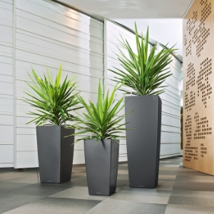 Dracaenas Plants in Toronto Condominium