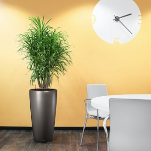 Dracaena Plant in Corporate Office in Markham