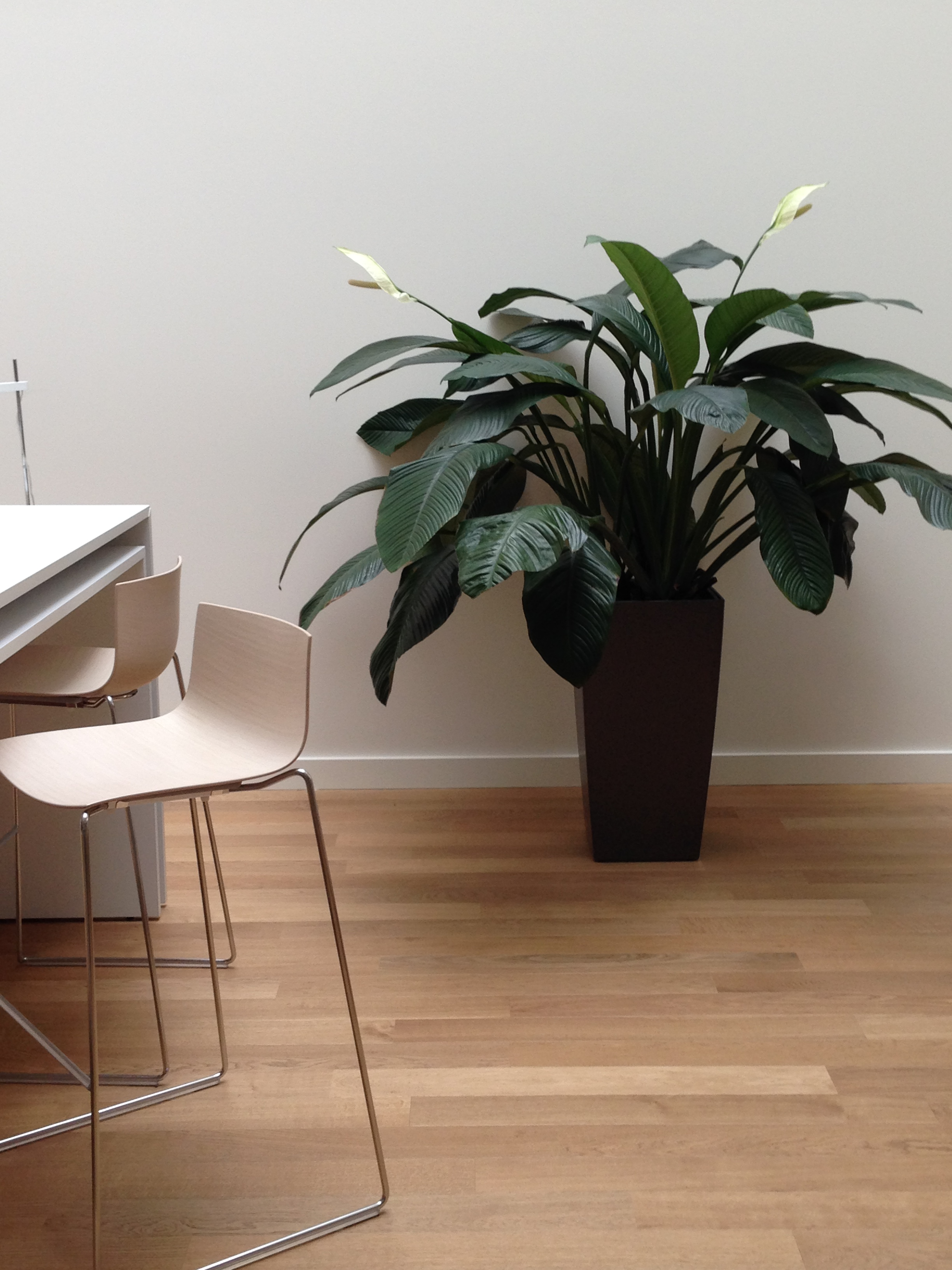 Spathiphyllum in Toronto Corporate Office Seating Area