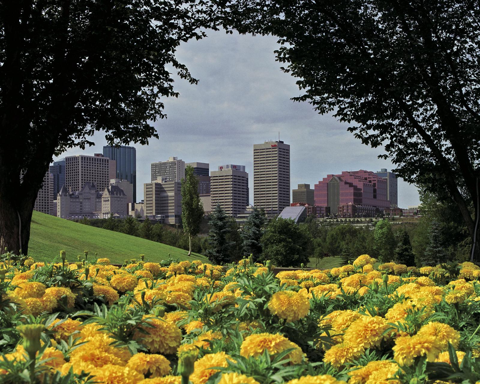 Edmonton-Mums flower bed.jpg