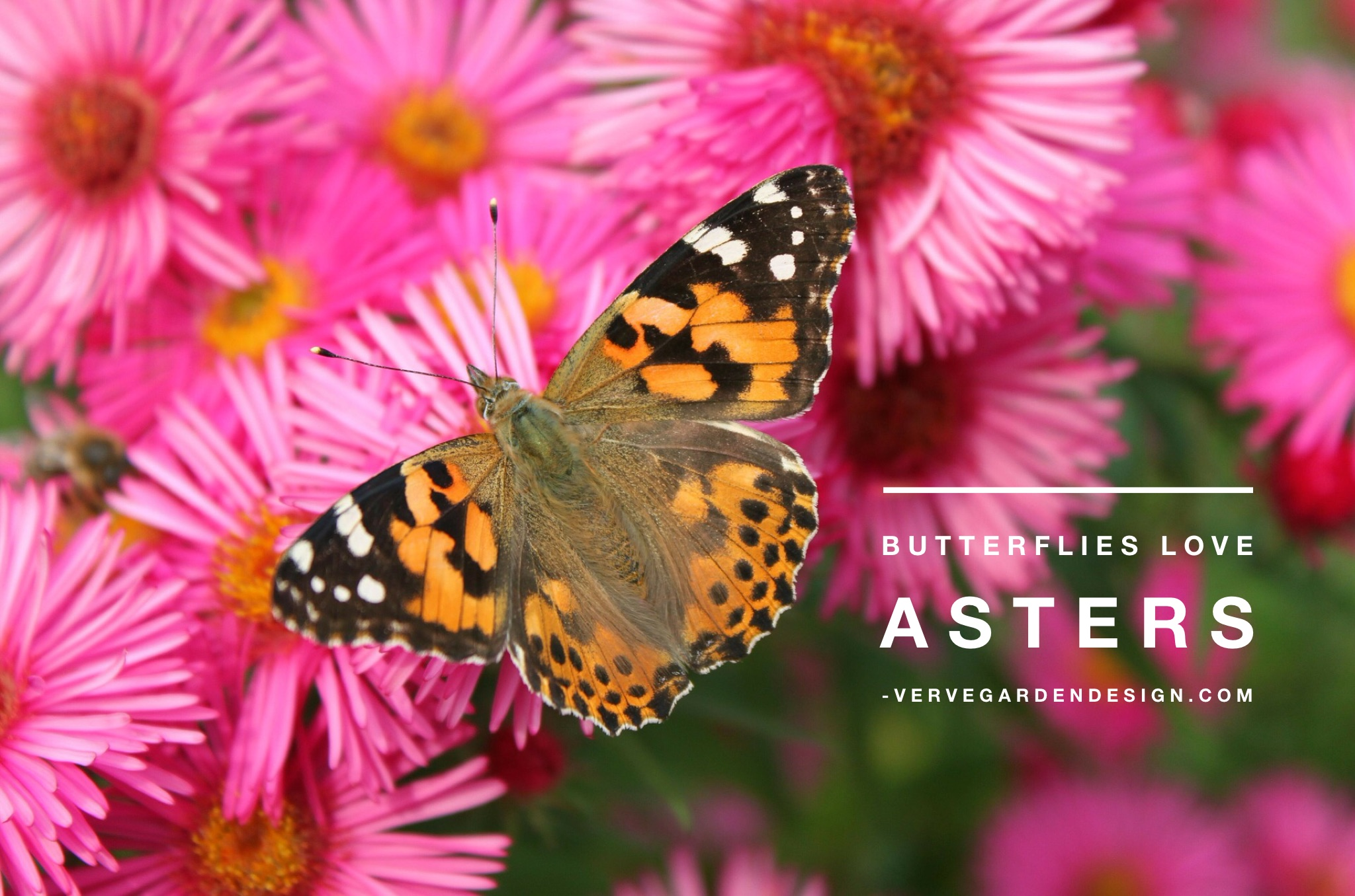 """Early flowering Asters like Aster x frikartii 'Monch""""will have you all a flutter"""