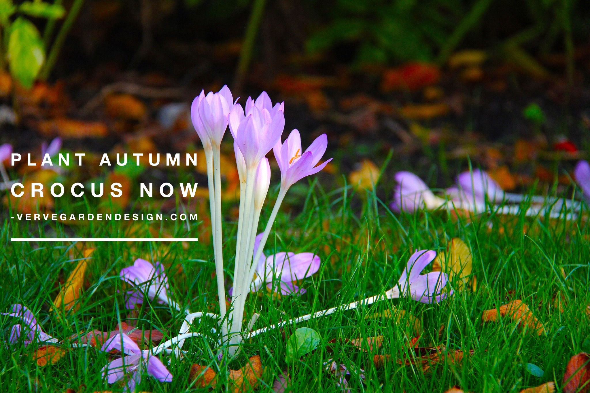 Best planted in lawns or under shrubs, Colchicums add a splash of colour in autumn and feed bees