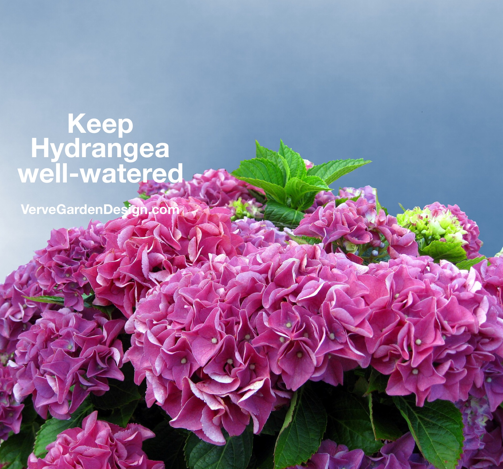 Hydrangeas need a lot of water and can wilt when hot in July and August.