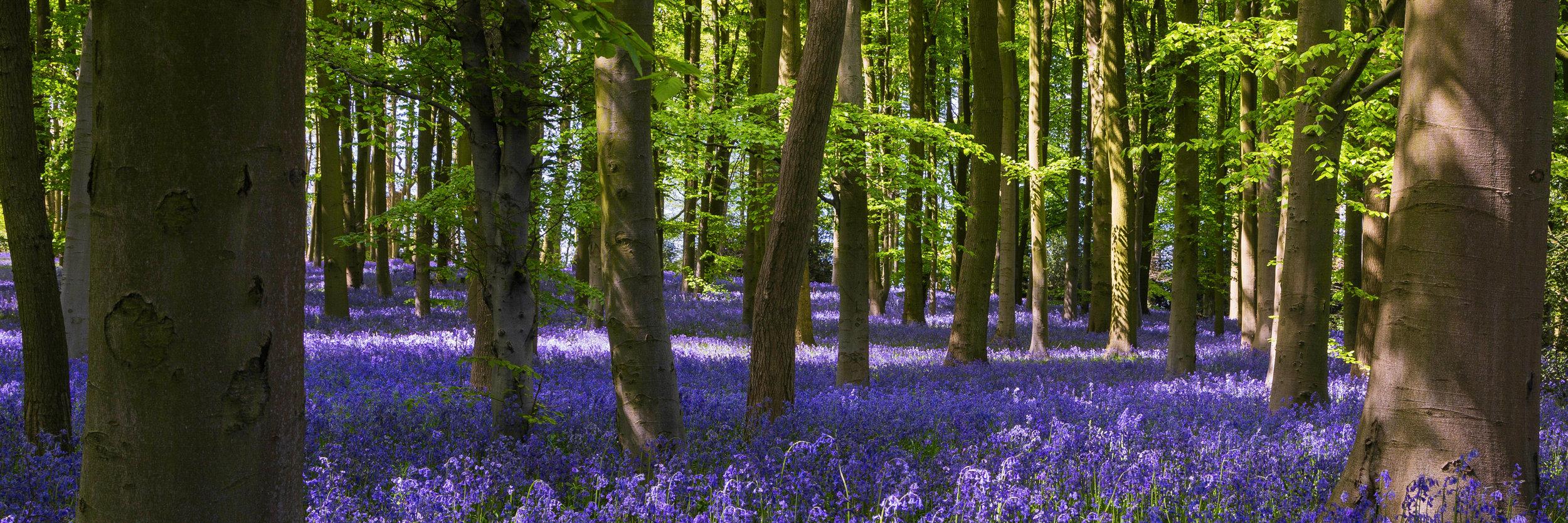 Indigo carpet of bluebells amongst the beech trees in Coton Manor, Northamptonshire.Image:   Chris Denning, Verve Garden Design