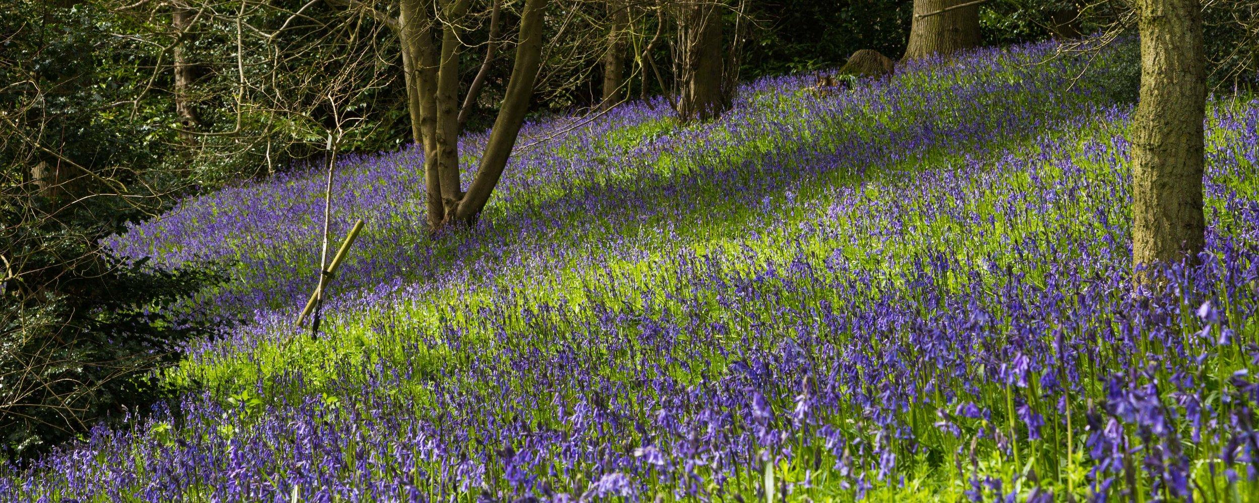 Stunning bluebell path near magical gardens of Kiftsgate Court.Image: Chris Denning, Verve Garden Design
