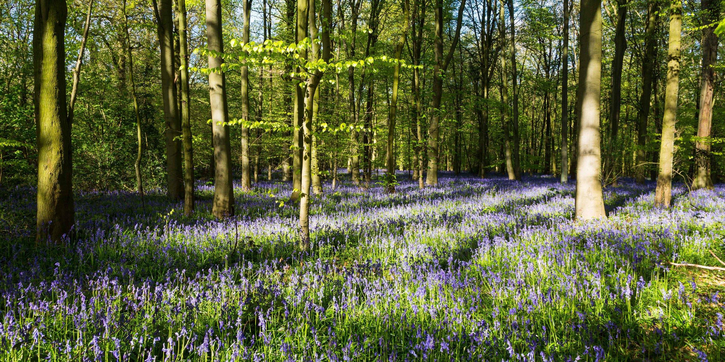 Vast amount of bluebells in secret woodlands near Nottingham.Image: Chris Denning, Verve Garden Design