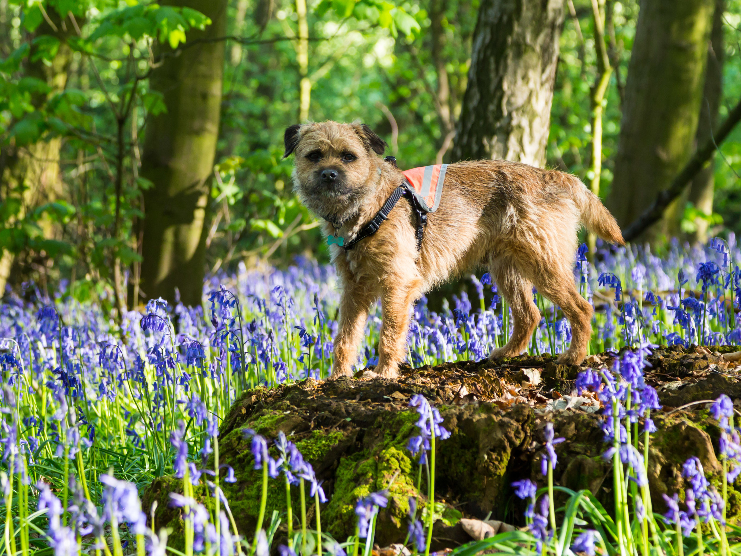 Pickle - Border Terrier, born Jan 2017.Pickle loves exploring for miles and bringing toys to my desk to give me a break from working (he's a very thoughtful puppy).