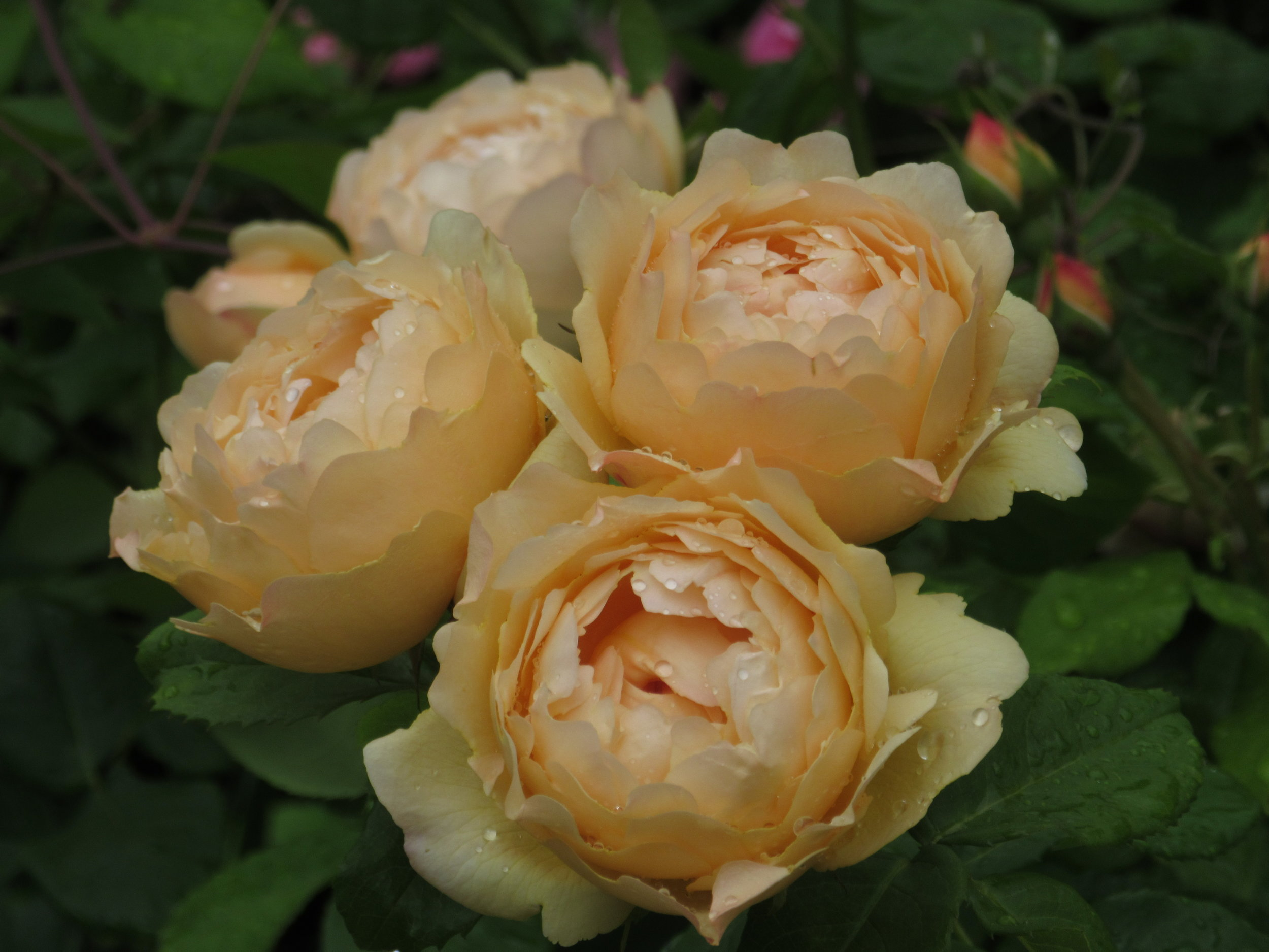 Pale Peach Roses Image: Lorraine Young, Verve Garden Design.JPG