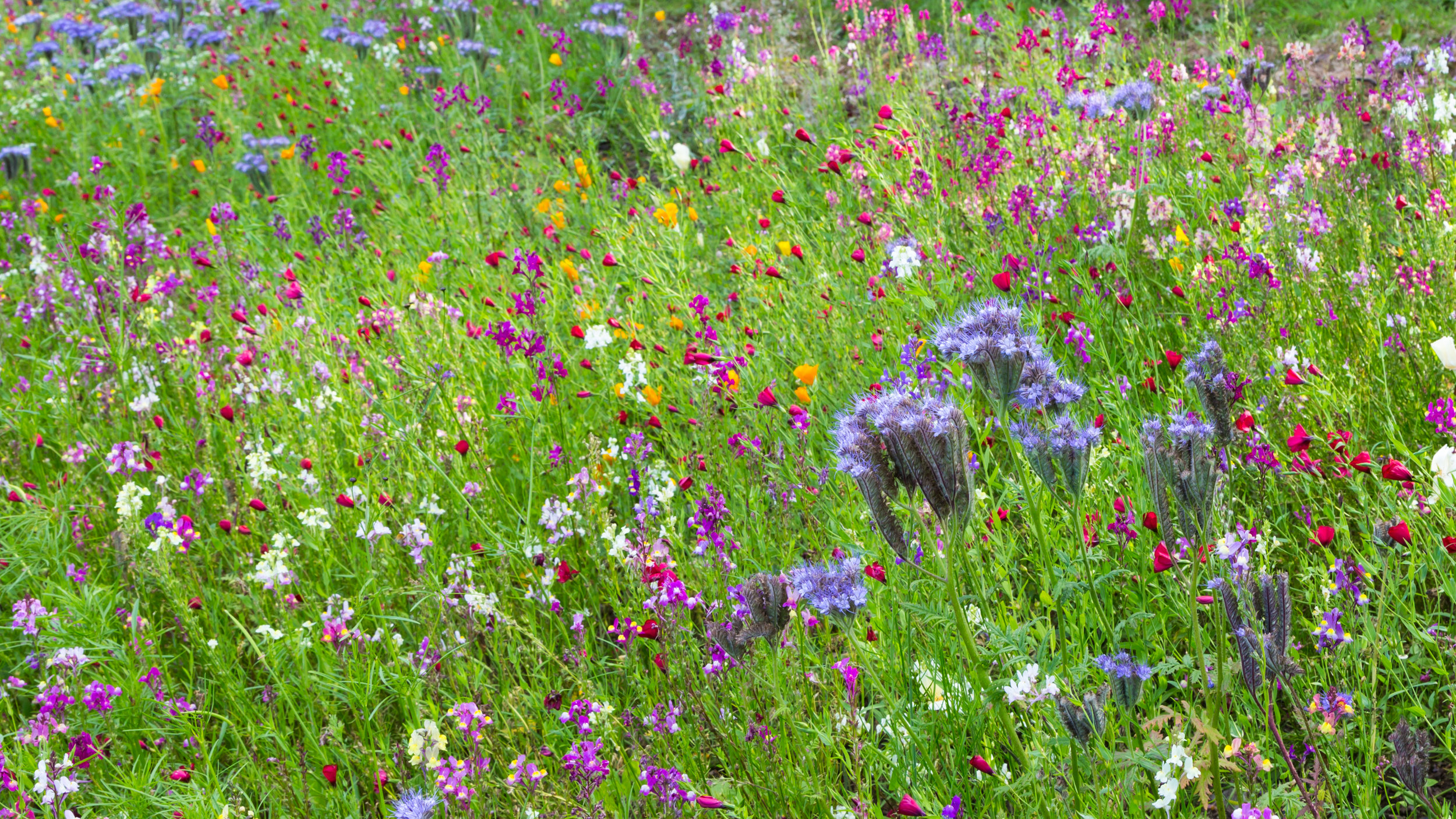 "While fond of vibrant colours in his ""Pictorial Meadow"" style planting, Nigel Dunnett has repeated orange, pink, blue and white that intermingle to create mesmerising patterns at Trentham Gardens. Image:  Chris Denning/Verve Garden Design."