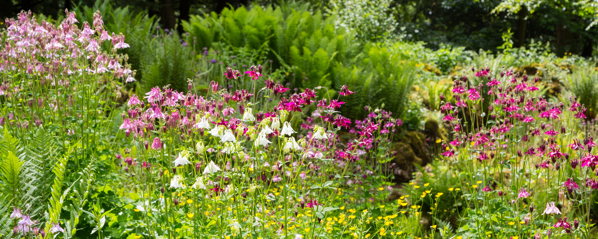 The delicate flowers of self-sown  Aquilegia  are enhanced by the ferny backdrop throughout the Rockery Garden at Lowther Castle. Image  Chris Denning/Verve Garden Design.