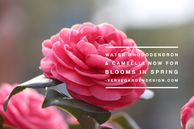Buds forming now on Camellia, Rhododendron and Azaleas now need water for best Spring display
