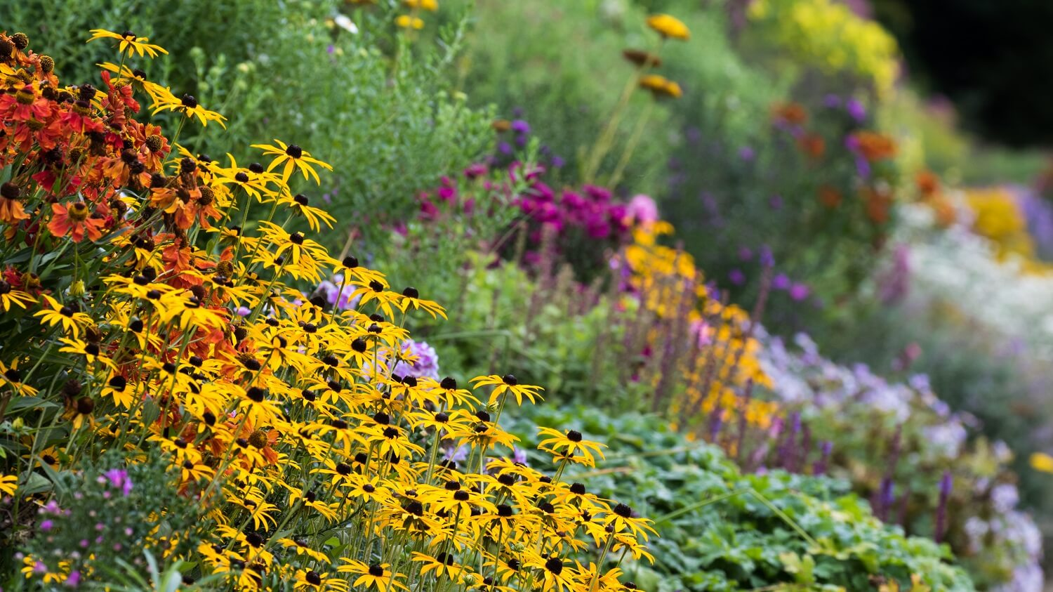 In September, Heleniums, Rudbeckia and early Michaelmas daisies brighten the herbaceous border at Waterperry Gardens. Image: Chris Denning/ Verve Garden Design.