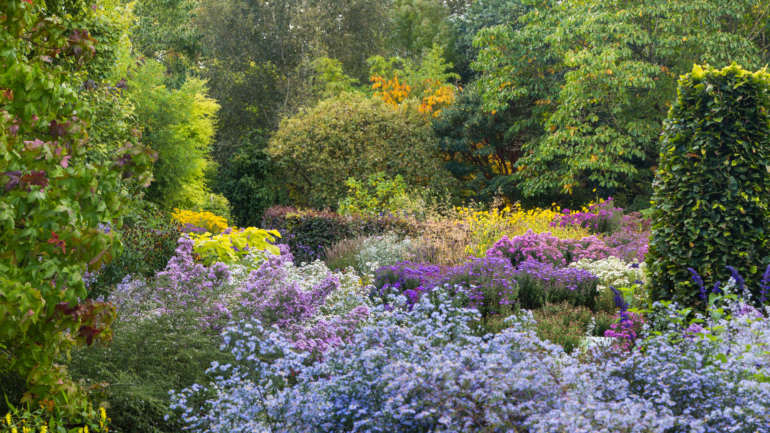 Asters and Autumn Colour in The Picton Garden.  Image: Chris Denning/ Verve Garden Design.