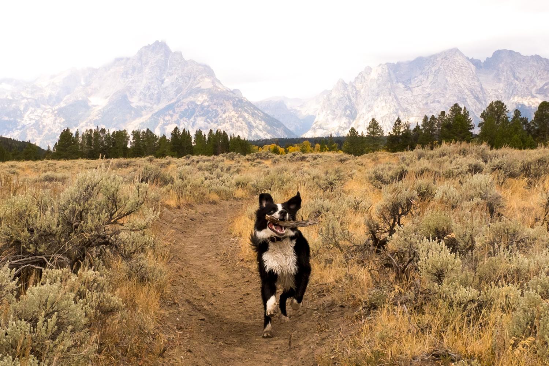Dog-bear near Jackson Lake, Wyoming