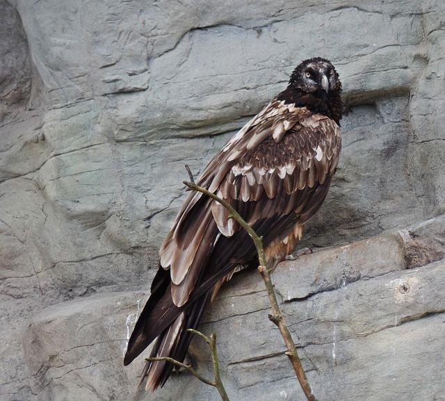 bearded-vulture-465960_640.jpg