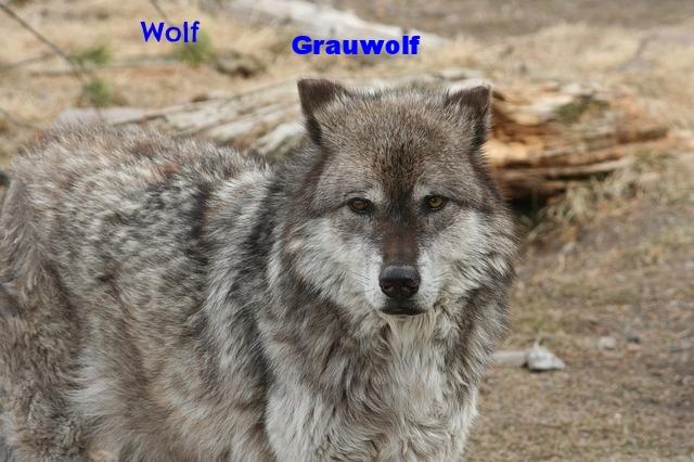 wolf-386344_640.jpg