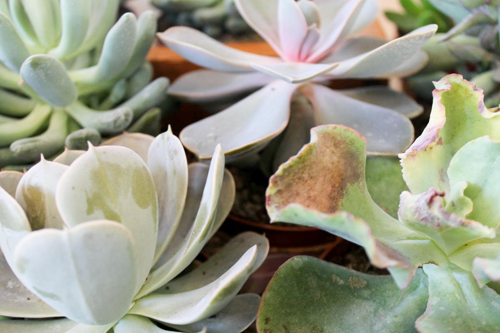 Southern Vintage Baby Shower-favors succulents close up.jpg