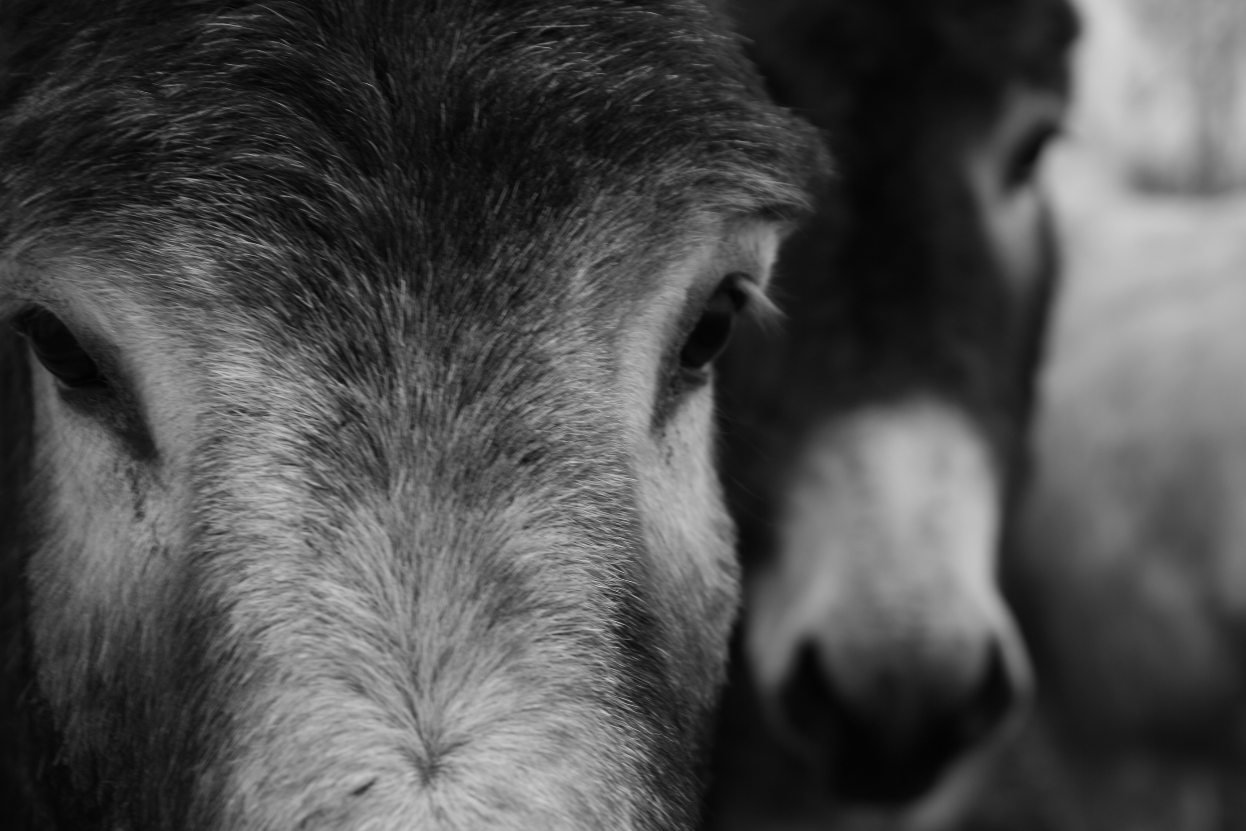 Donkey on Burro Lane, Black and White (5).JPG