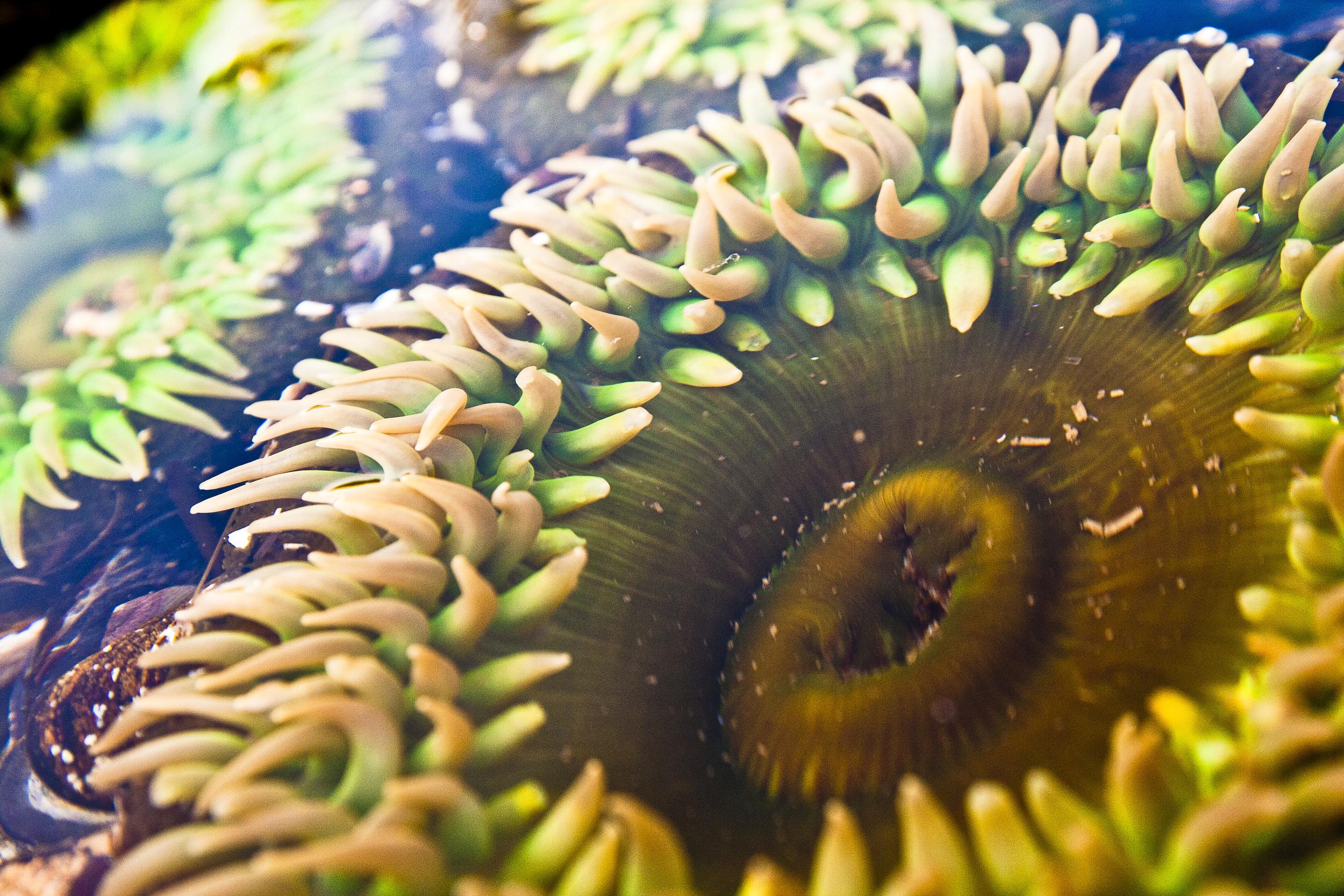 sea aneome.jpg