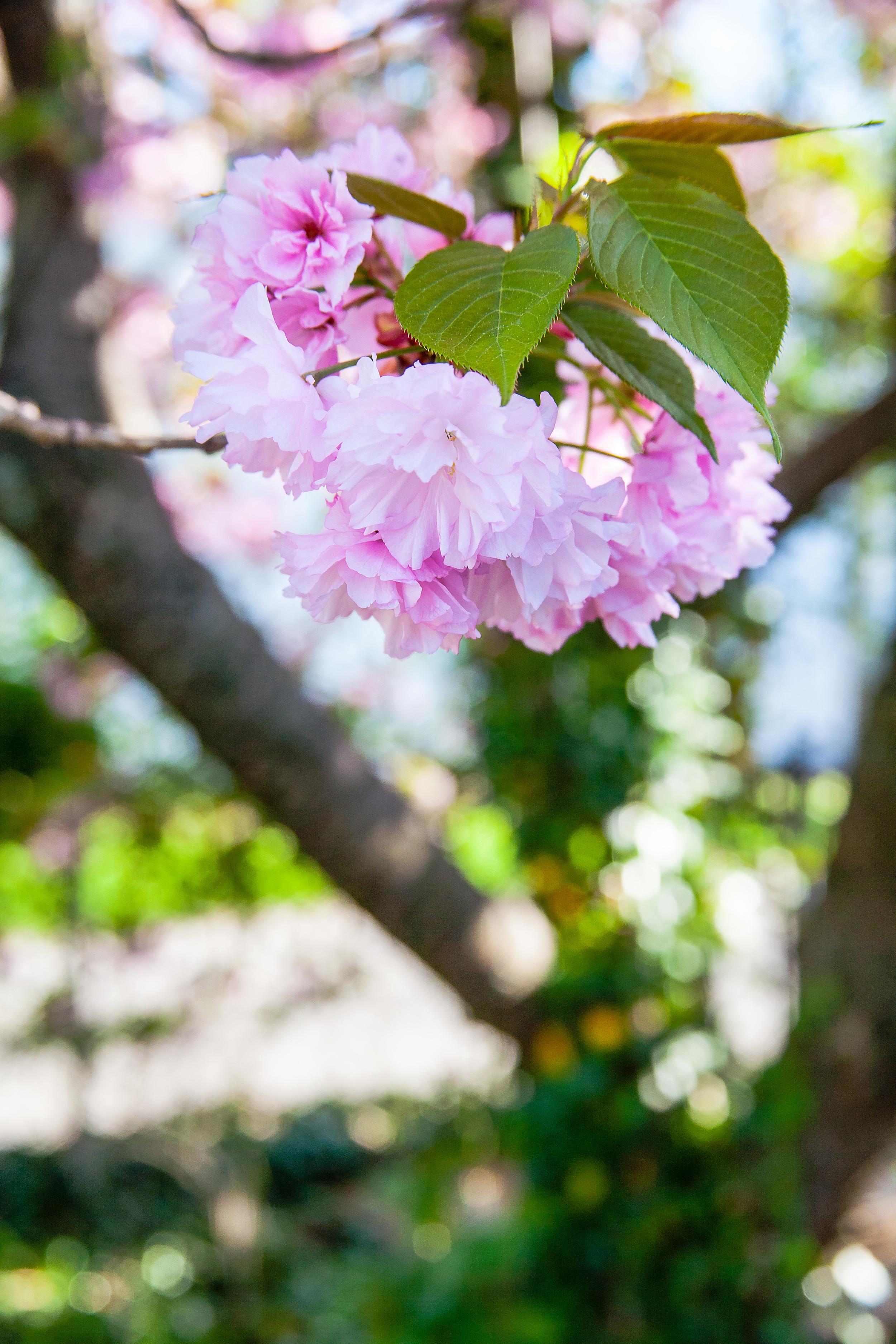 crabapple flower.jpg