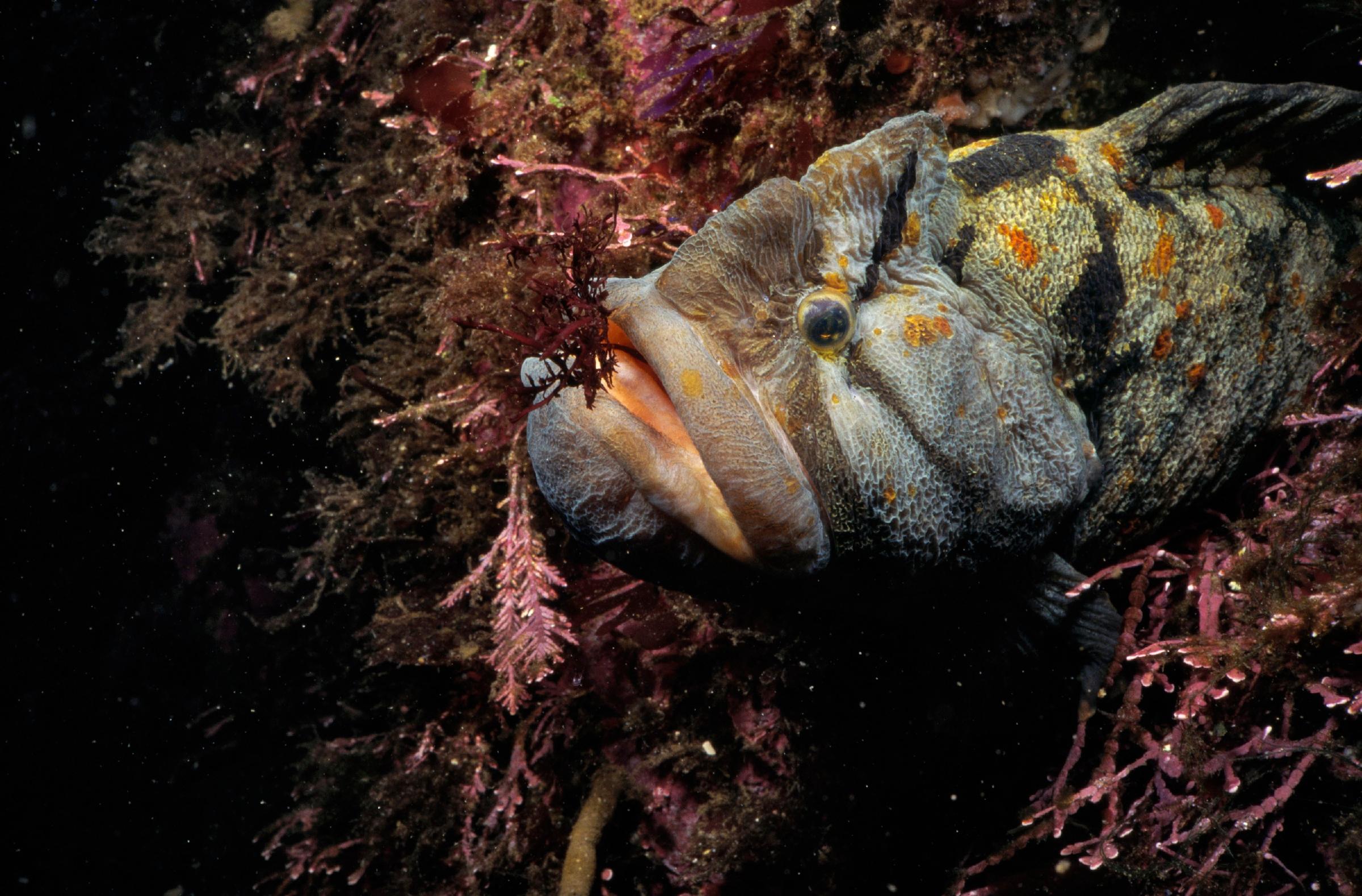 The Monkeyface Eel. Image Courtesy of Monterey Bay Aquarium.
