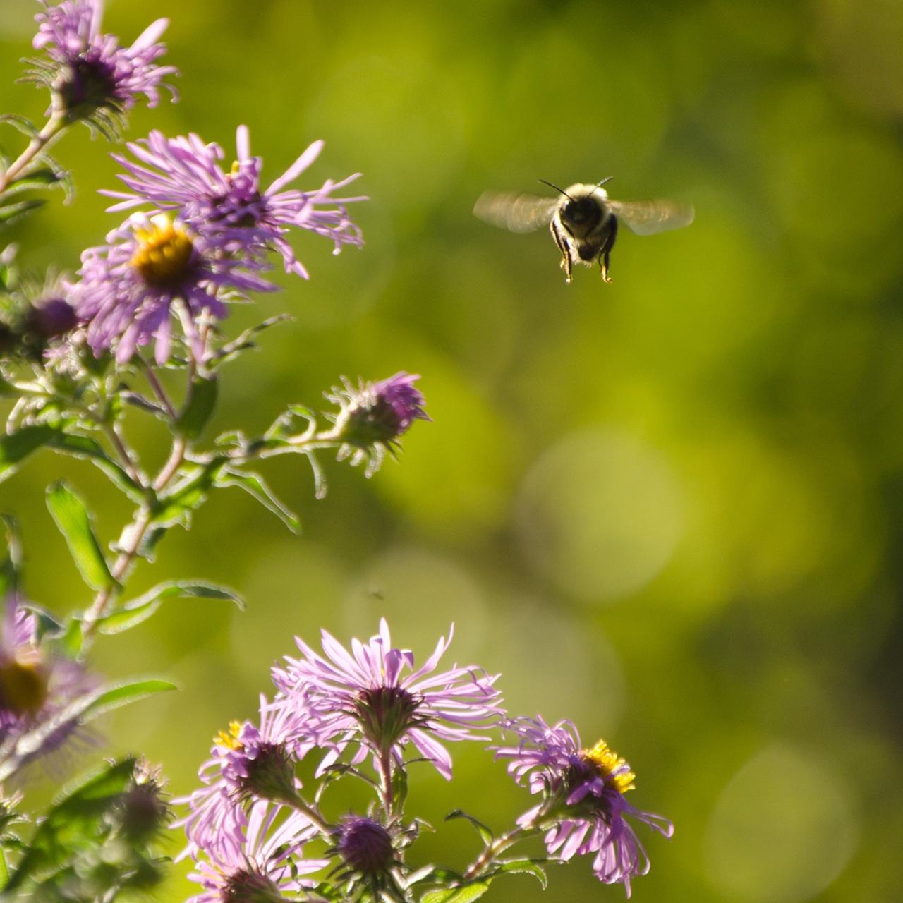 Bees still exist in Brooklyn