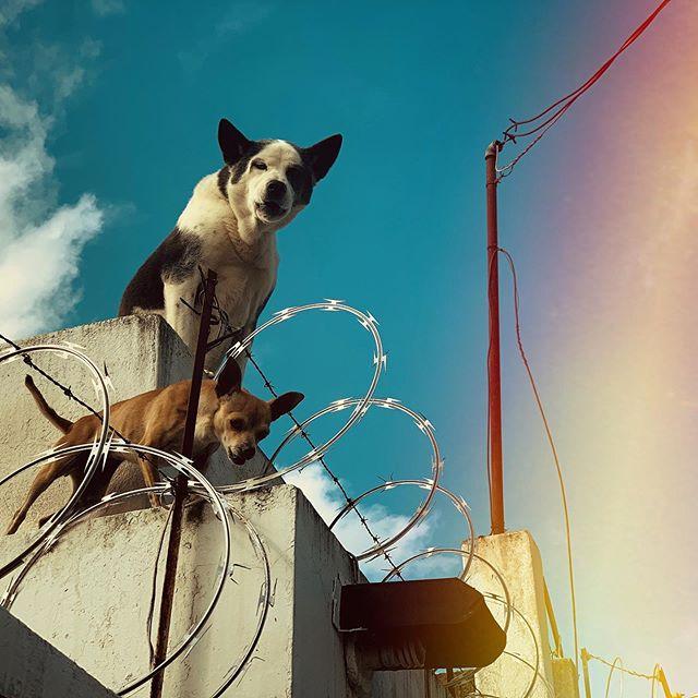 #Dogs of #Guatemala City. #travel #centralamerica