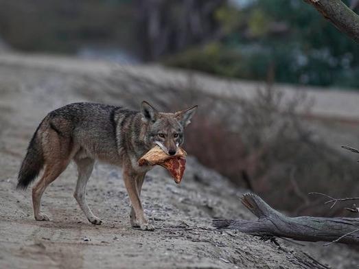 pizza coyote 2 the dodo.jpg
