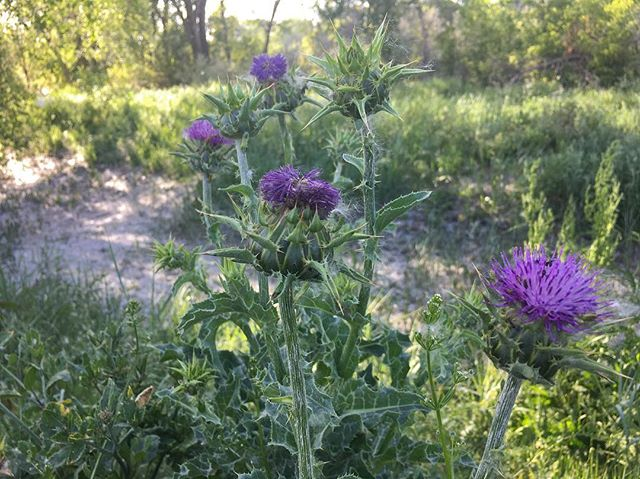 Starting an interesting recipe with thistle this week. Stay tuned for the results, but in the meantime enjoy the bloom in all its thorny goodness . . . . #invasivespecies #thistle #outdoorlife #foraging #eatinvasive #wildfood #thizzle