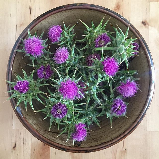 Step 1: Gather thistle heads. Equipment required: Thick gloves OR high tolerance for pain . . . #wildfood #eatinvasive #foraging #thistle #invasive #invasivespecies #iforgotgloves