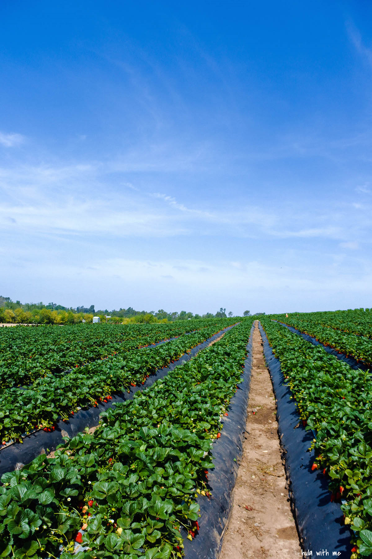 Endless rows of strawberry plants.