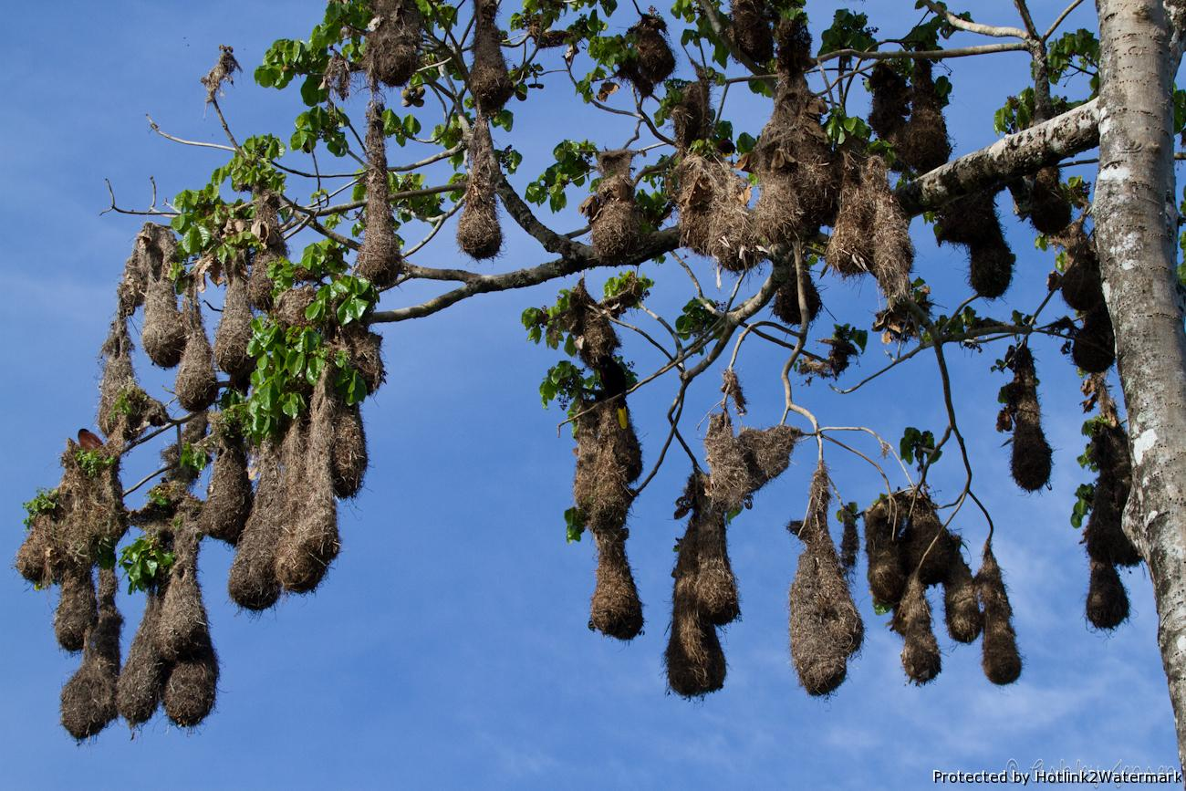Montezuma Oropendola Nests ~ Caspar S