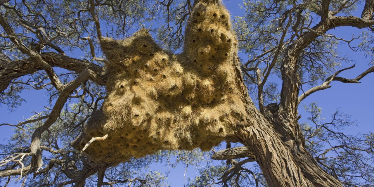 Sociable Weaver Nest ~ Ingo Arndt/NPL