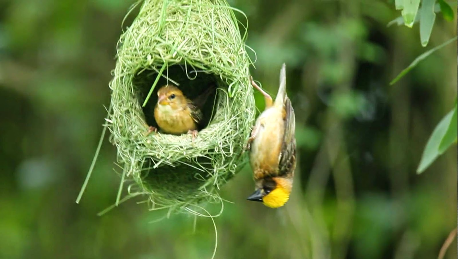Baya Weaver Nest ~ Sasika Harshana