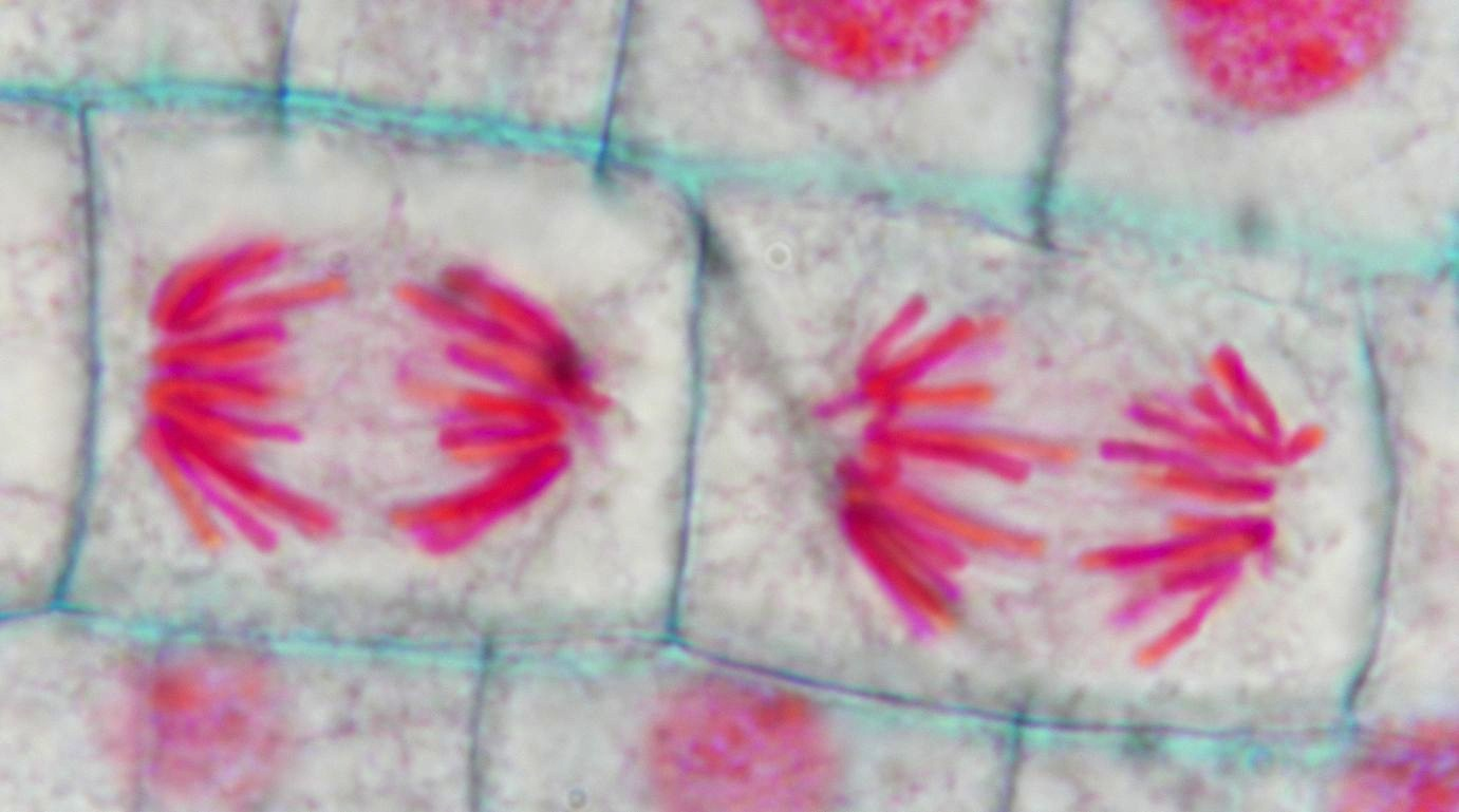 Onion Root Mitosis