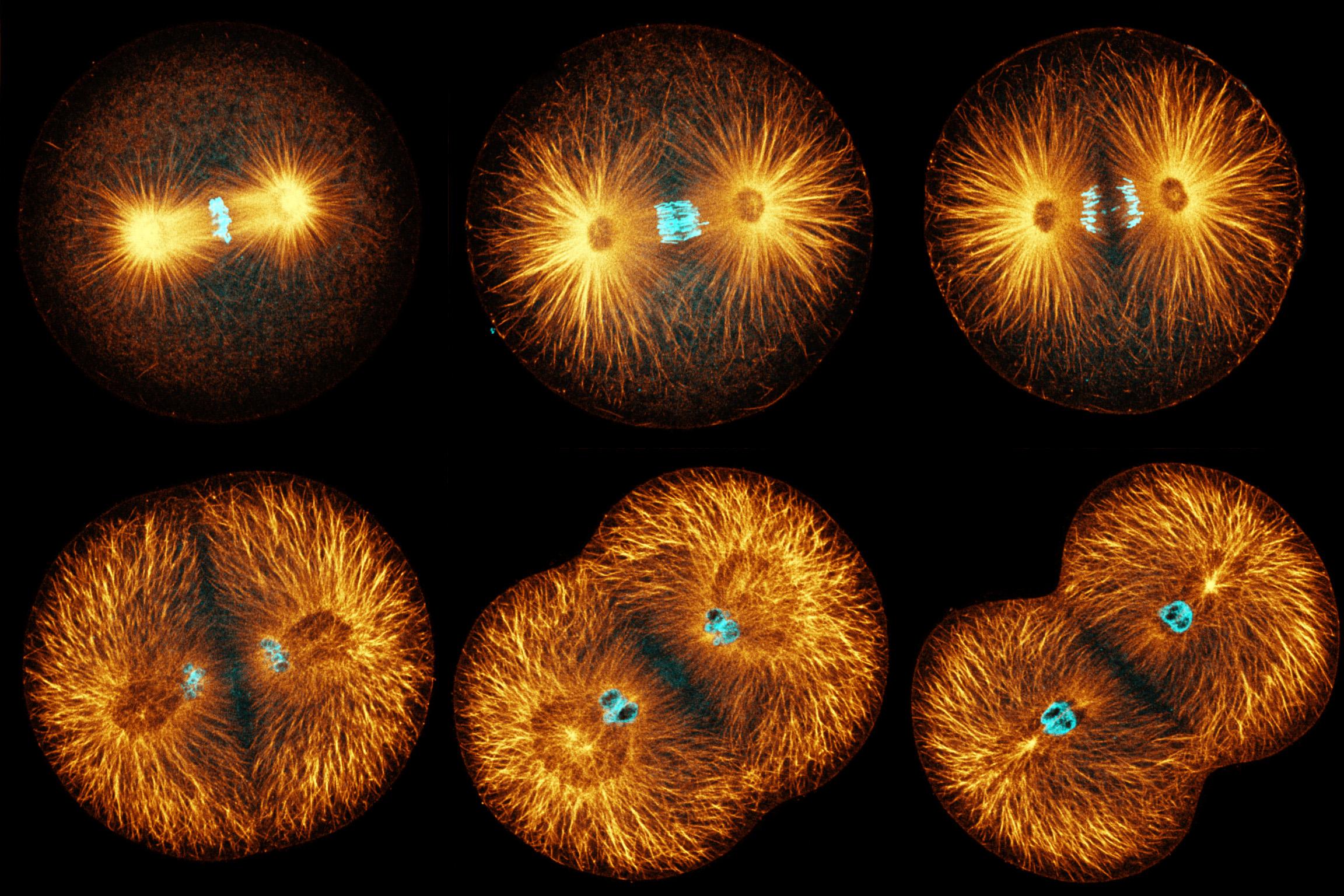 Kangaroo Kidney Cells Mitosis