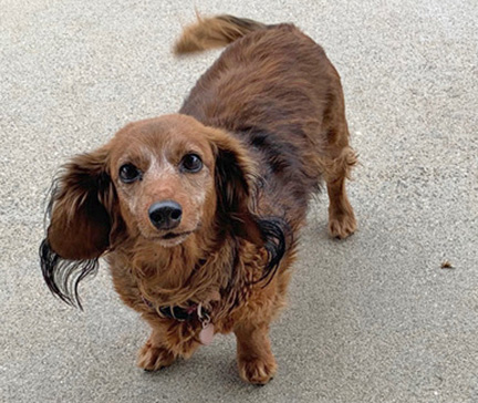 Emma (4519) - Age: 13 yearsColor: Red SableCoat: LonghairSex: Female/SpayedSize: Tweenie – 15.5 lbs.