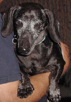 Buddy (4758) - Age: approx. 12 yearsColor: Black/SilverCoat: SmoothSex: Male/NeuteredSize: Tweenie – 13 lbs.