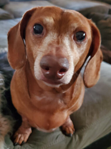 Bruno (4765) - Age: 11 yearsColor: Clear Red DappleCoat: SmoothSex: Male/NeuteredSize: Standard – 25 lbs.